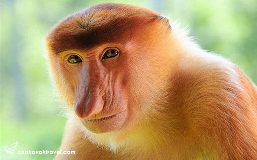 میمون دماغ دراز در ساراواک مالزی میمون دماغ خرطومی