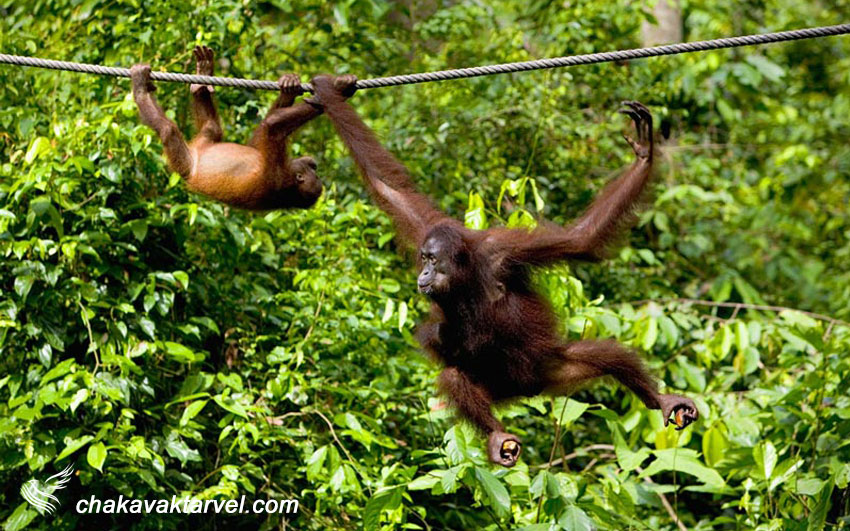 میمون ها در جزیره صباح مالزی