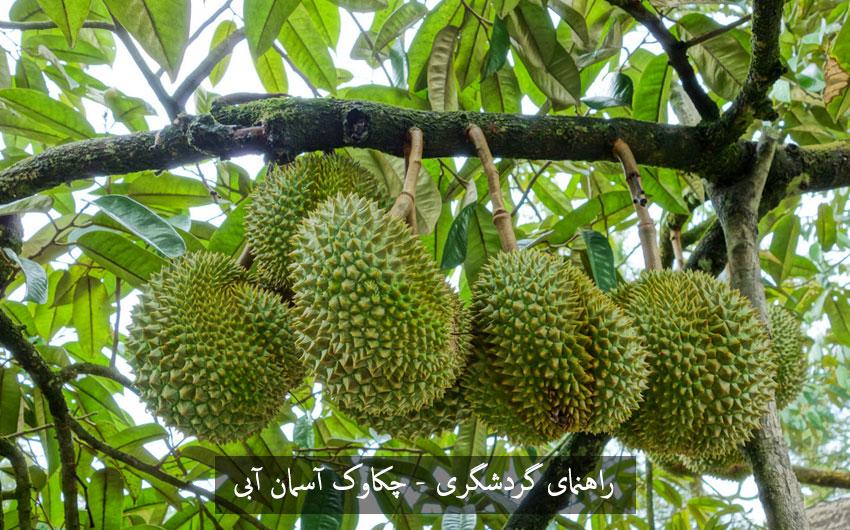 بدبوترین و خوشمزه ترین میوه جهان در مالزی میوه دوریان در دسارو