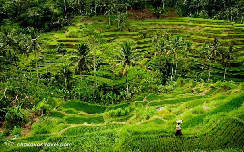 شالیزارهای پلکانی تگالالانگ Tegallalang Rice Terrace در منطقه اوبود بالی نقاط مهم گردشگری در شالیزارهای پلکانی برنج تگالالنگ
